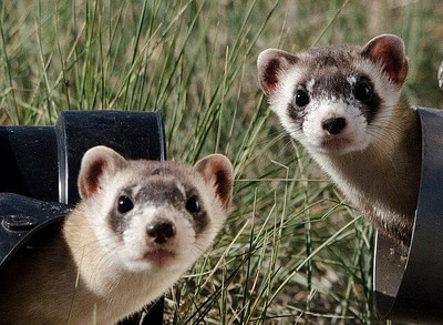 black footed ferrets
