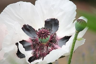 white poppy flower