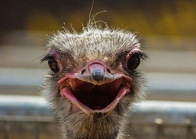 ostrich-roar