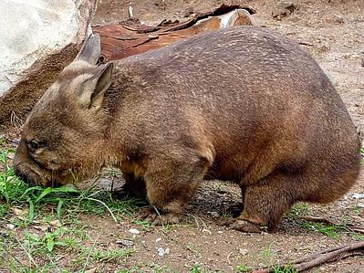 wombats cube poop