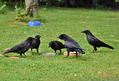 flock of crows