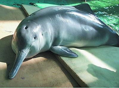 Baji Dolphin